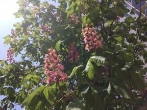福岡天神の街路樹ベニバナトチノキの花を眺めて