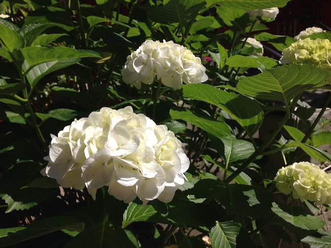 紫陽花の花が綺麗な福岡天神の水鏡神社