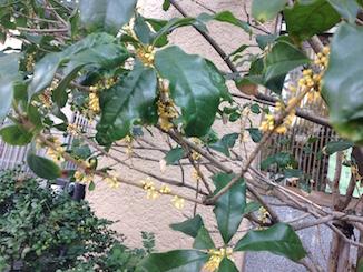 福岡天神の金木犀のつぼみと鯉とブラキカムの花
