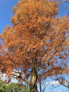 沼杉(ラクウショウ)の紅葉!宮崎文化公園