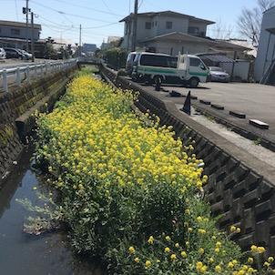 菜の花が咲く川