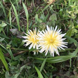 白いたんぽぽの花と河川敷