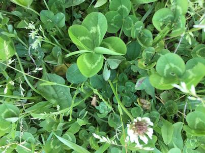 大淀川の河川敷で4つ葉のクローバーをたくさん