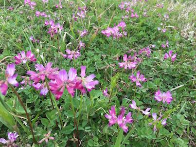 大淀川河川敷のピンクや紫の春の花:レンゲソウ、スミレ、カタバミなど