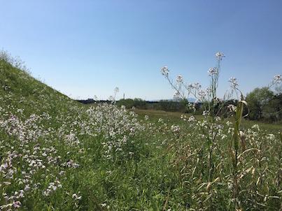大淀川河川敷の白い花ハマダイコンと春の風景