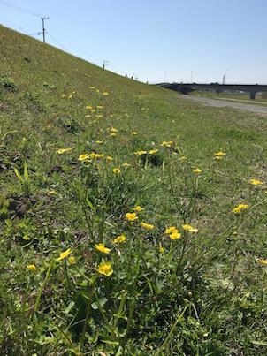 大淀川の河川敷の春の黄色い花:きつねのぼたんなど