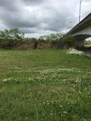 大淀川の河川敷!シロツメクサの花畑と桜の蕾など