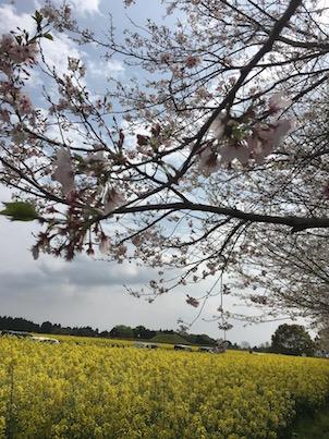 西都原古墳群と桜と菜の花を見に行きました