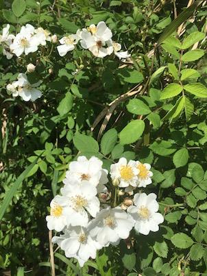 白い野ばらの花がいっぱいの大淀川の河川敷