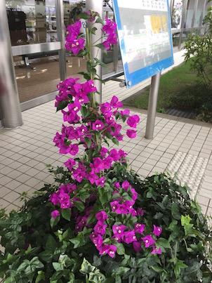 ブーゲンビリアの宮崎から初夏の福岡へ