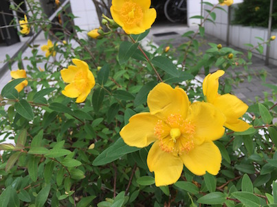 キンシバイ(金糸梅)の花が咲いています。