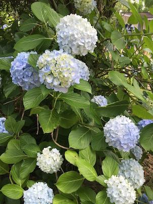 紫陽花の花とアガパンサスの花・・宮崎