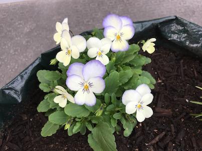 ビオラの花が増えています。