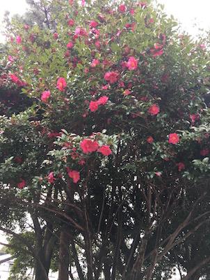 福岡の春日公園の冬:山茶花の花びらと落葉樹
