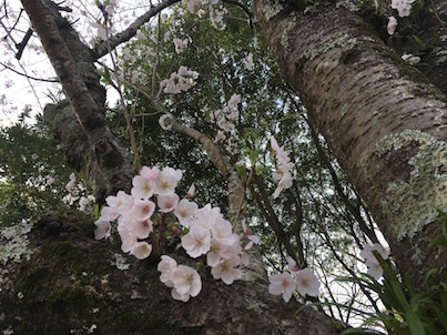 宮崎文化公園の2017春の桜の風景