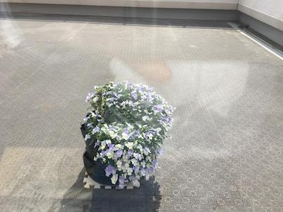 春日マンションのルーフバルコニーのヴィオラの成長がすごい!
