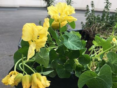 レモンイエローのナスタチウムを植えました。