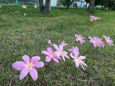 イヌサフラン(コルチカム)と百日紅などピンクの花咲く公園