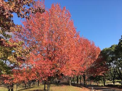 春日公園のタイワンフウの紅葉2017年11月6日
