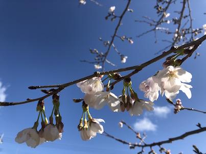 桜の花が満開の日向市2018年3月27日