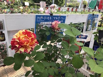 バラの花が満開&紫陽花の花など!5月の平田ナーセリー春日店