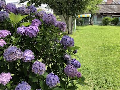 日向の公園の紫陽花とネジバナの6月18日の風景