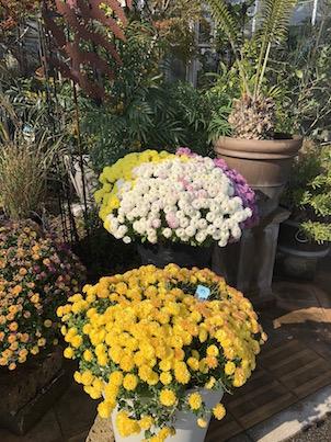 平田ナーセリーの11月後半の花たちシクラメンや胡蝶蘭など