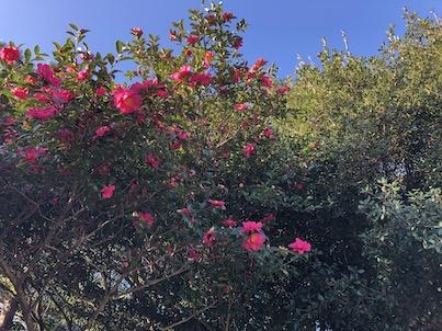2019年1月初旬の春日公園!梅の花咲き始めと山茶花の花が満開!