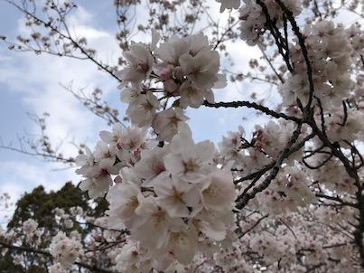 春日公園の桜8分咲きから満開へ2019年