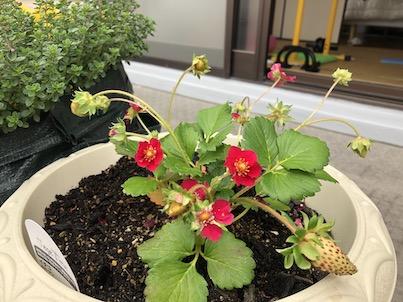 四季なり苺のルビーアンを植えました!