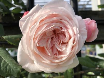 バラが満開の春日市平田ナーセリー2019年5月