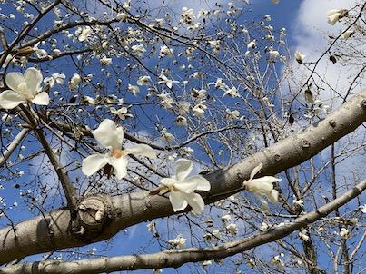 福岡県春日公園のコブシの花など2020年3月19日の風景