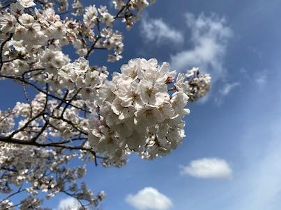桜の花が7分咲きくらい!福岡県春日公園2020年3月29日