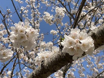 緊急事態宣言でも桜が満開!福岡県春日公園!2020年4月2日と4日