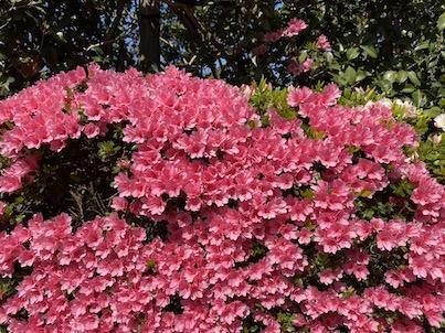 桜だけでなくサツキの花も!モミジの緑の若葉もキレイ